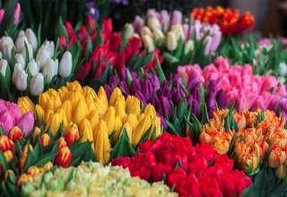 Tulpen werden auf dem Hollandmarkt ebenfalls zu finden sein